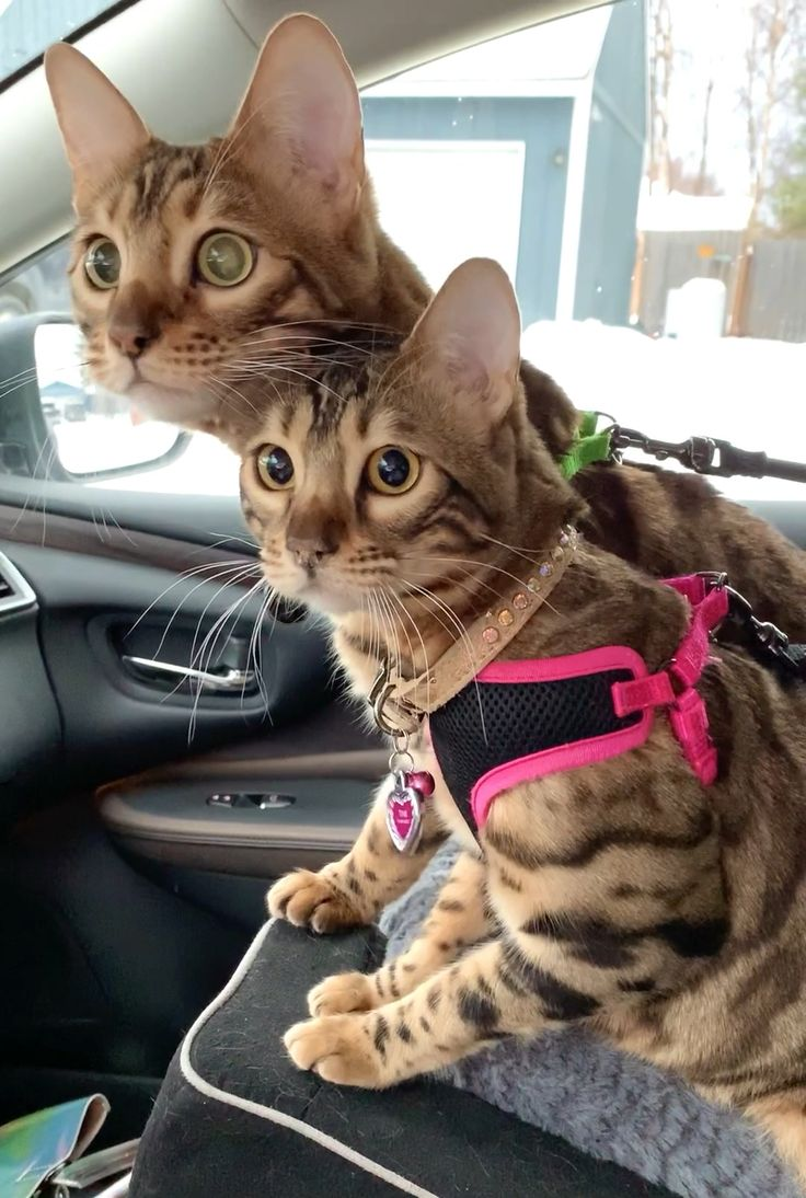 Pin by Resin As You Wish on Bengal Cat Tinker Bell (Tink