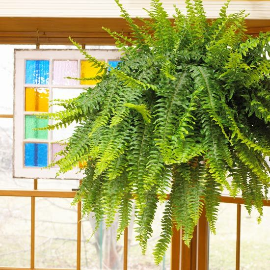 Boston Fern is tough plant that will live for decades if you keep it moist and give it moderate light and enough humidity. The variety 'Dallas' is more compact and more tolerant of dry air.    Why We Love It: Boston ferns create a classic feel in any room. Their beautiful, arching fronds work well with any decorating style -- but especially cottage and country.