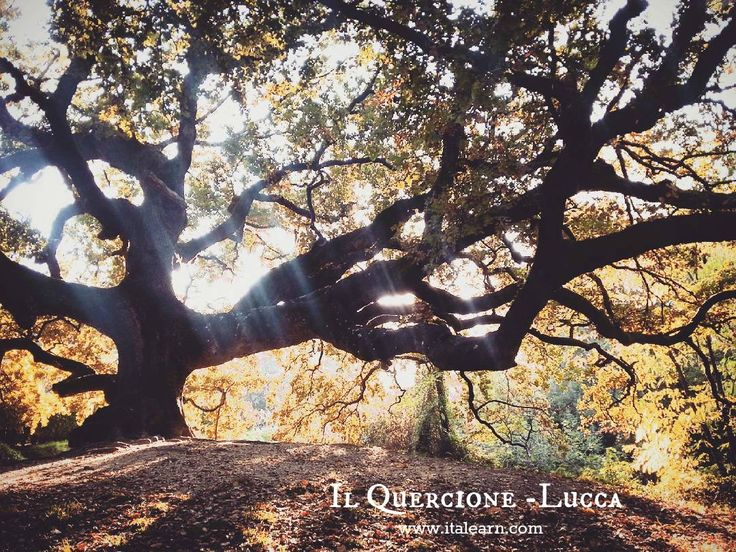 One of the most ancient trees in Italy, the witches oak. Lucca