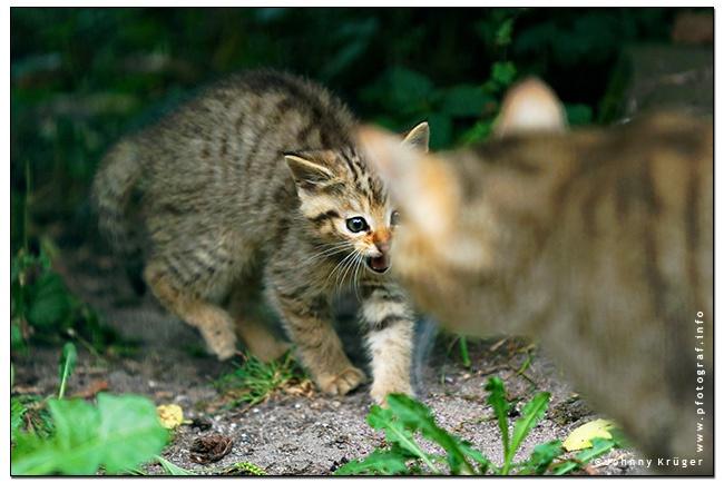 Copyright Johnny Krueger - www.pfotograf.info - wildkatze - european wildcat
