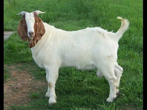 Jamanpari (Jamunapari) Goat Farming