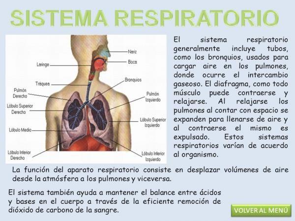 Partes Y Funciones Del Sistema Respiratorio Descubre Cuáles Son Sistema Respiratorio Funciones Del Sistema Respiratorio Sistemas Del Cuerpo Humano