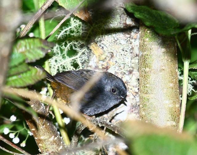 Tschudis Tapaculo Scytalopus Acutirostris