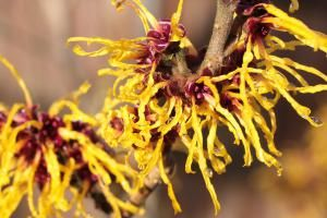 Everything You Need to Know About Witch Hazel Shrubs