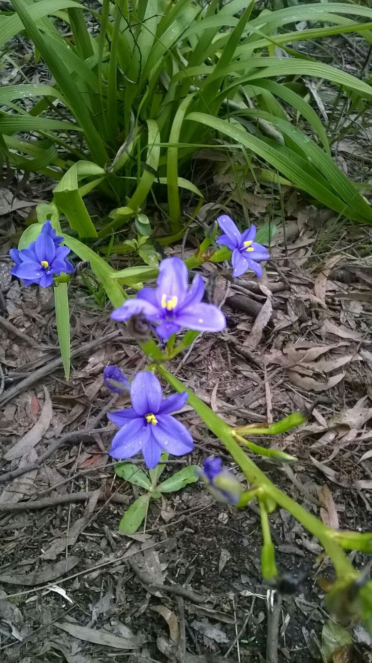 Orthrosanthus (Morning Iris) Beacy Upper, VIC