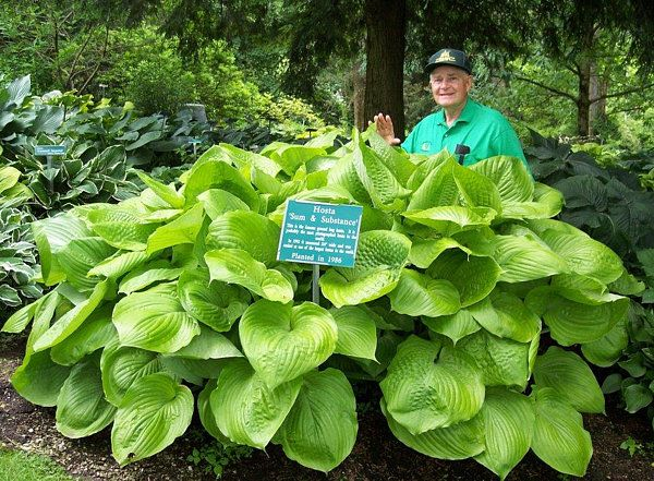 Hosta Sum and Substance - Perhaps the largest and most popular hosta. This award winner has immense leathery leaves of chartreuse that become gold as summer approaches. A bold landscape feature when accentuated by smaller bright-colored hostas and other perennials. Resists slug damage. Herbaceous perennial. Hosta of the Year, 2004.  Shade loving.