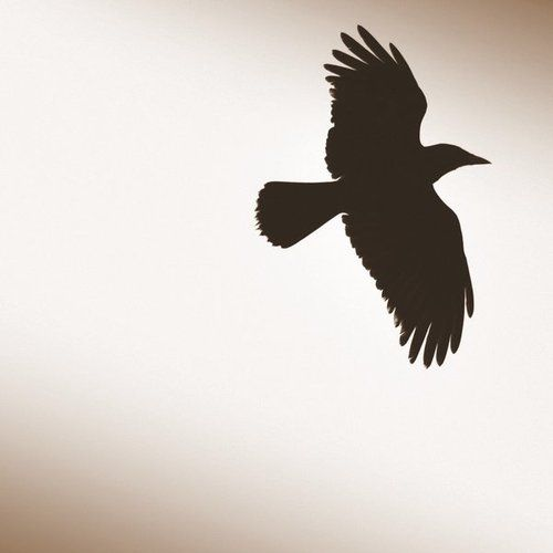 Raven flying, this one!