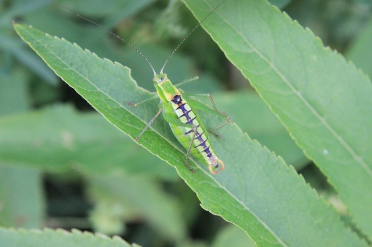 Grasshopper Sitting on Green Weed Blade