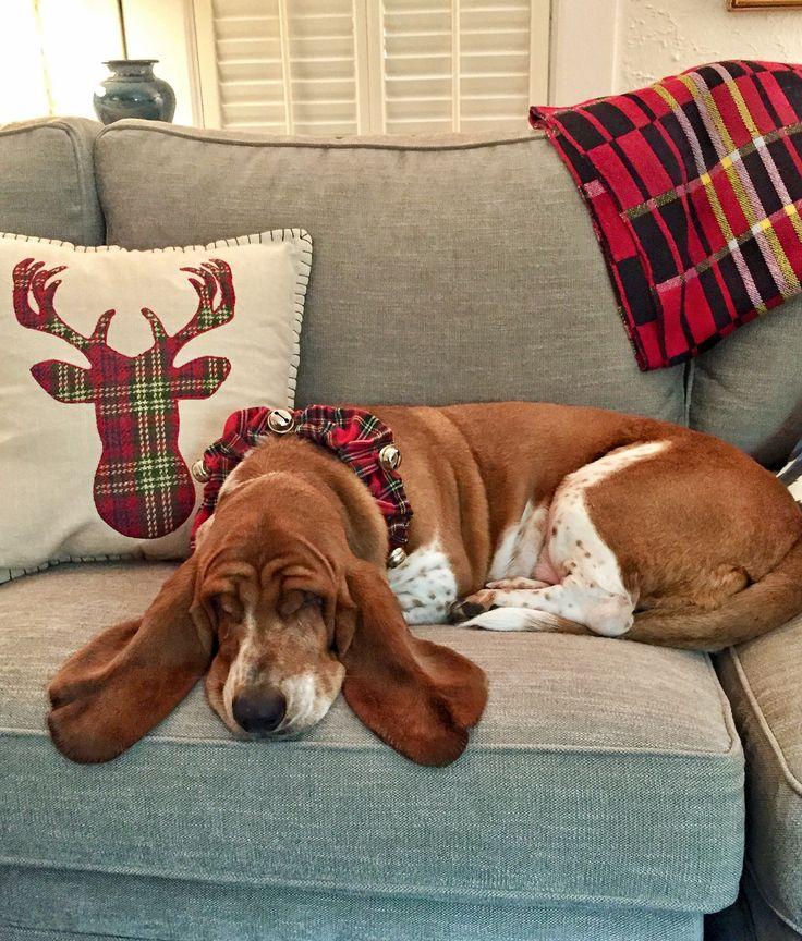 Dream being bassett hound lick