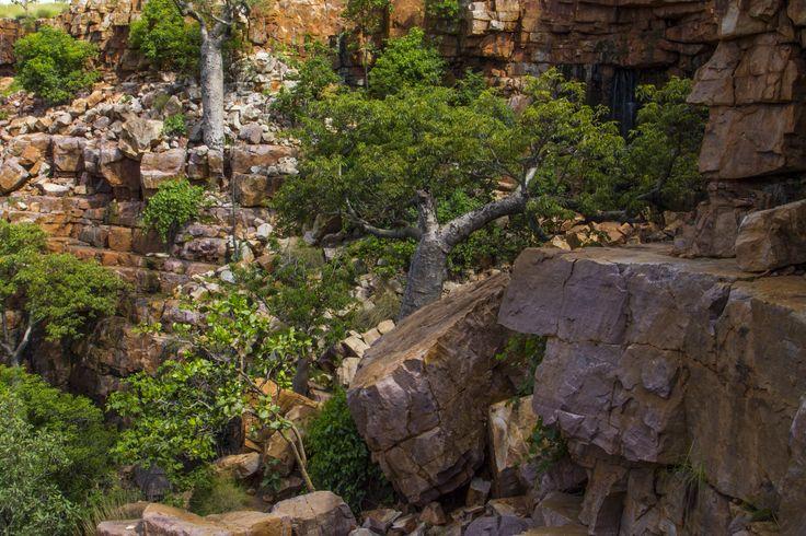 Boab tree growing in a rock in The Grotto, Kununurra. Taken by Matthew Schneider.