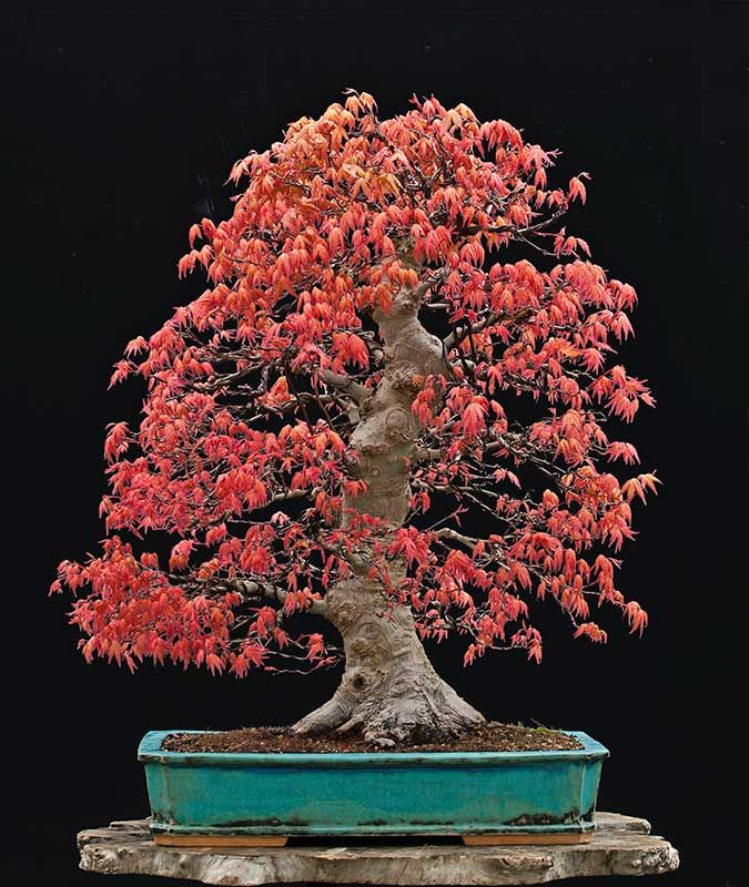 Beautiful Japanese Maple by Walter Pall. I love the contrast of pot and leaves!