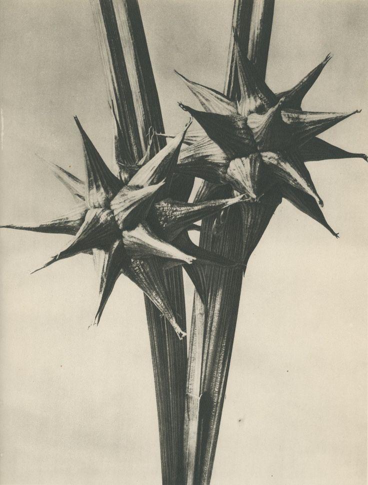 "<div class=""artist""><strong>Karl Blossfeldt</strong></div><div class=""medium"">1st edition photogravure</div><div class=""dimensions"">32.5 x 25 cm</div><div class=""price"">£200.00</div>"