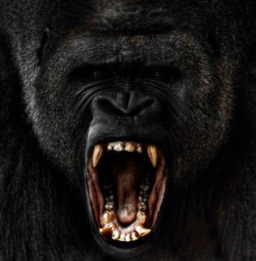 Angry gorilla: Wild Animal, Silverback Gorilla, Wild Life, Ape, Wild Things, Steven Miljavac, Wildlife, Beast Mode, Angry Gorilla