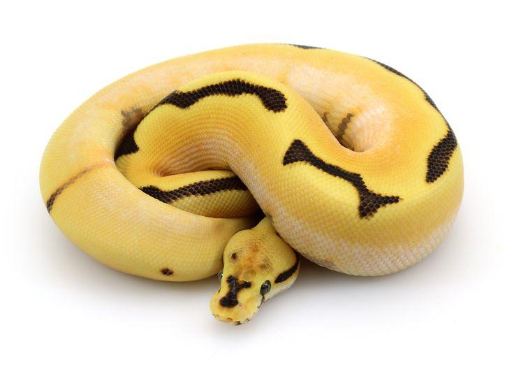 ball python, super orange dream yellow belly fire spider