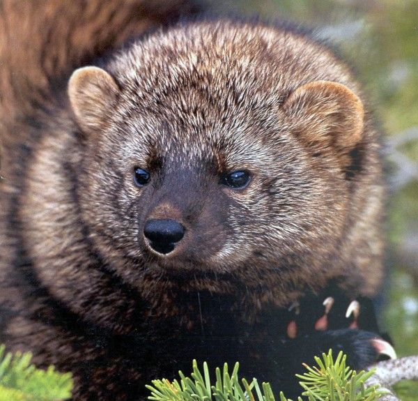 California's 'fisher cat' newest victim of poison from illegal pot farms