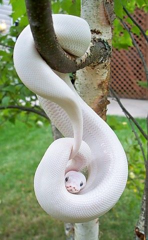 Snake--not normally big on albinos or leusistic but I think this animal is gorgeous!  A WHTE ONE THE DECEPTIVE