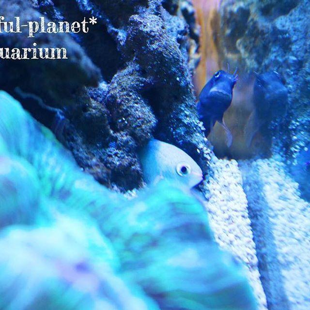 【colorful_planet.pasya】さんのInstagramをピンしています。 《コケのお掃除役にフタイロカエルウオに来てもらいました。この顔大好き💕 * ハナダイギンポ行方不明😢😢😢 * ニセモチニウオにいじめられているデバスズメ(1匹)カエルウオが来るまで水流ポンプ裏に隠れていたけど、良いお友達を見つけたのかな?半共生? * 海水魚は、たまに1匹を集中的にイジメするのは何故なんだろう?今いるカクレ1匹も以前はみんなにイジメられてたお魚です。 * #海水水槽#サンゴ#珊瑚#コーラル#フタイロカエルウオ#デバスズメ#オオバナサンゴ#マイアクアリウム#アクアリウム#sea#iphone#myaquarium#aquarium#coral#coralreef#saltwatertank#dendronephthya#キレイ#綺麗#ファンタジー#beautiful》