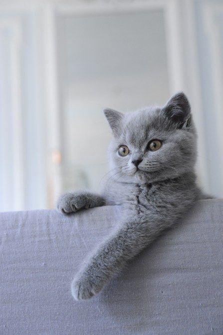 Mon British Shorthair