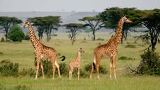 We Thought There Was One Giraffe Species—But There Are Four