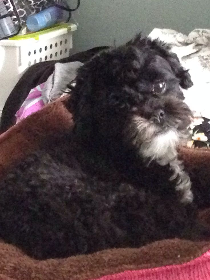 Black maltipoo Hallie Berry !!! ( Maltese Poodle mix at 2 years)