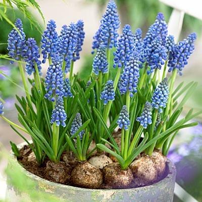Muscari potted grape hyacinths indoor bulb gardens flower bulbs gardens plants - Planting hyacinths indoors ...