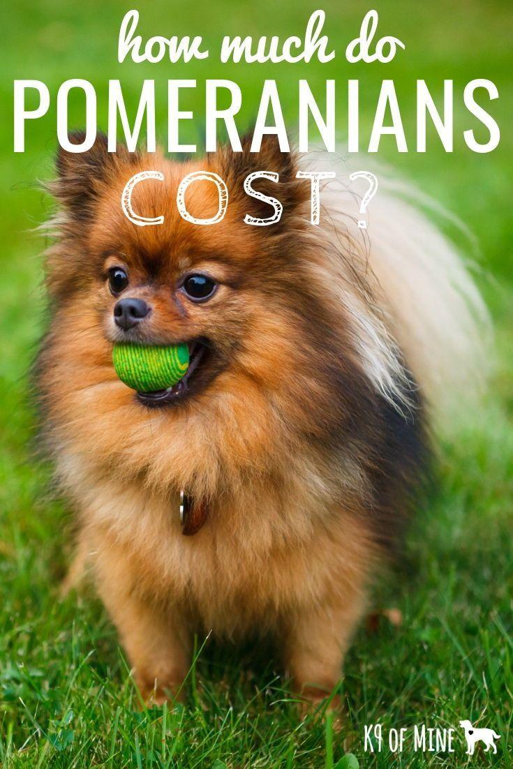 How much do pomeranians cost pomeranian pomeranian