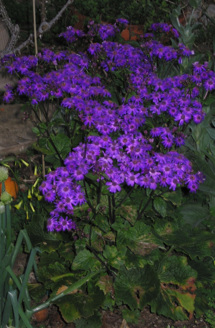 More cineraria from my mother-in-law's garden.  Transplants well and does fine in Campbell, CA