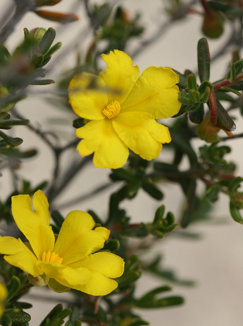 Hibbertia hypericoides, commonly known as Yellow Buttercups, is a small shrub species that is endemic to the south-west of Western Australia.