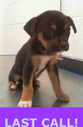 SAFE --- NINA (A1677547) I am a female black and tan Terrier. The shelter staff think I am about 9 weeks old and I weigh 4 pounds. I was confiscated and I may be available for adoption on 02/11/2015. — Miami Dade County Animal Services. https://www.facebook.com/urgentdogsofmiami/photos/pb.191859757515102.-2207520000.1423598092./922468177787586/?type=3&theater