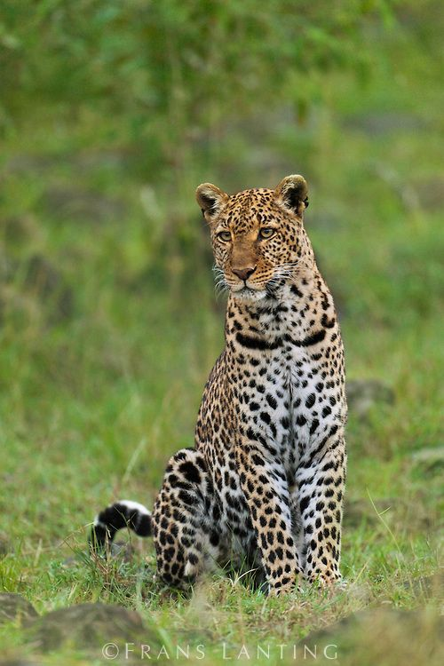 Leopard, Panthera pardus, Masai Mara National Reserve, Kenya