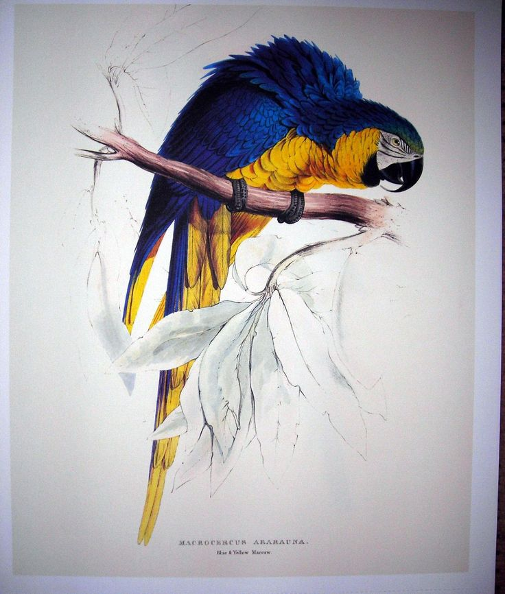 Macrocercus Ararauna Blue AND Yellow Maccaw Taschen Lithograph | eBay