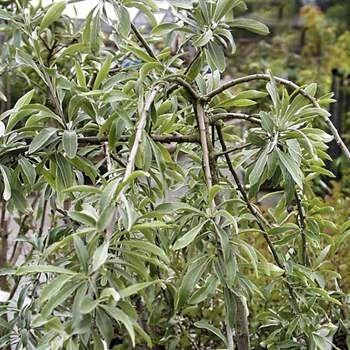 Silverpäron 'Pendula'