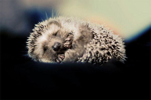 Soft hedgie, warm hedgie, little ball of hurt. Happy hedgie, sleepy hedgie, poke, poke, poke. <3