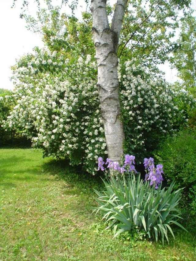 16 best haie persistante images on pinterest hedges decks and plants - Haie persistant fleurie ...