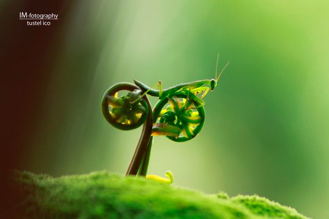 A brilliant capture of a praying mantis straddling two budding leaves by Borneo-based photographer Tustel Ico.
