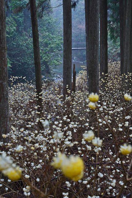 Edgeworthia chrysantha Blooming valley, Wakayama, Japan