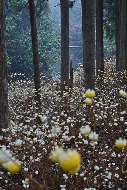 Edgeworthia chrysantha Blooming valley, Wakayama, Japan| So beautiful...I wish Edgeworthia grew in my zone :(