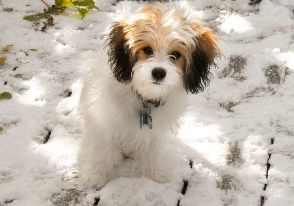 Cavachon Puppies For Sale Ballyhara Minnesota Cutie