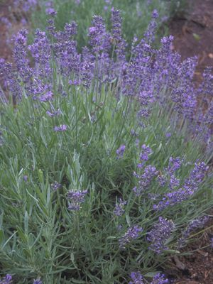 Find This Pin And More On Flowering Herb Garden