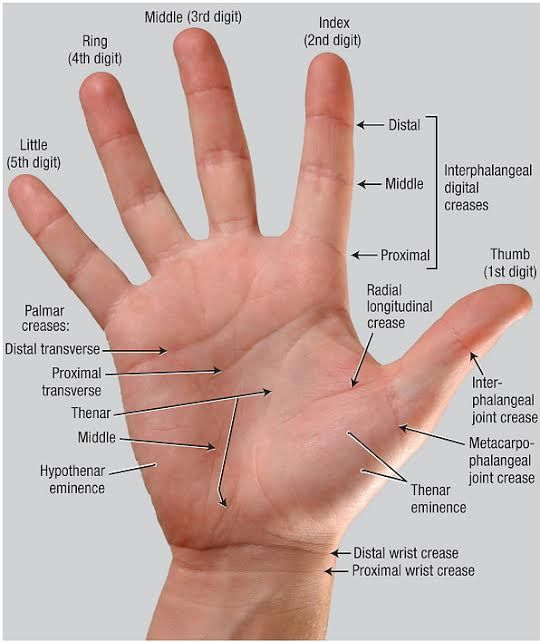 158 Best Anatomy And Use Of The Hand And Arm Images On Pinterest