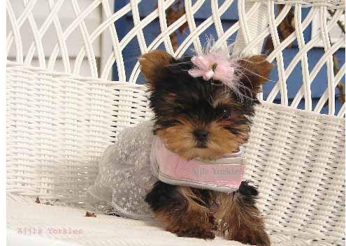 Yorkies|Yorkie Puppies For Sale| Yorkie Breeder|Teacup Yorkie Puppies