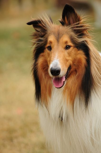 collie chien trop mignon Dogs Lovers http://dogslovers.fr/