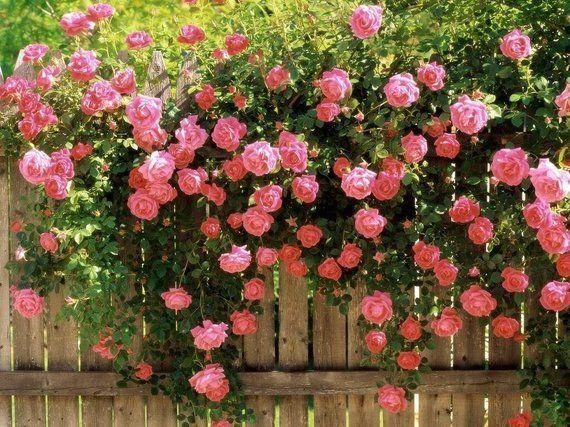 5 Pink Climbing Rose Rosa Bush Vine Climber Fragrant Butterfly Etsy Climbing Roses Rose Seeds Flower Seeds