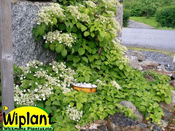 Hydrangea anomala sp. petiolaris, klätterhortensia. Självklättrande, små grönvita blommor, växer sakta i början. Kan också användas som marktäckare.