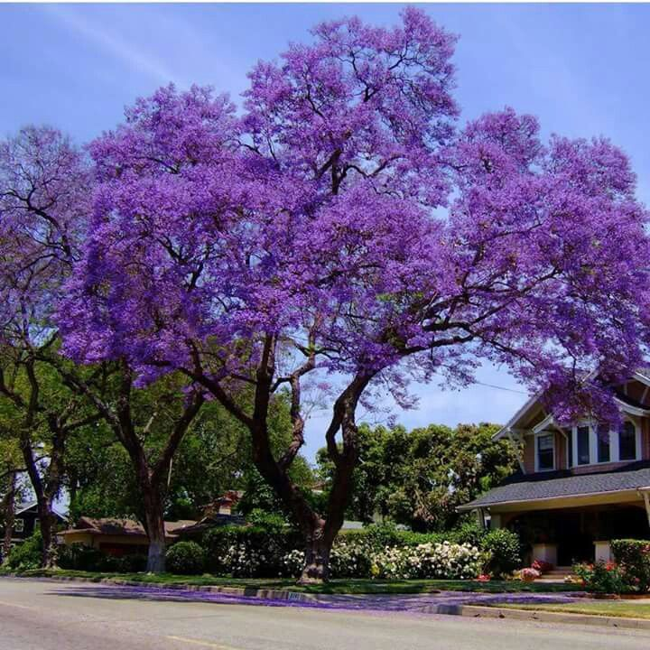 10 best Árbol del Amor..arboles exoticos images on Pinterest ...