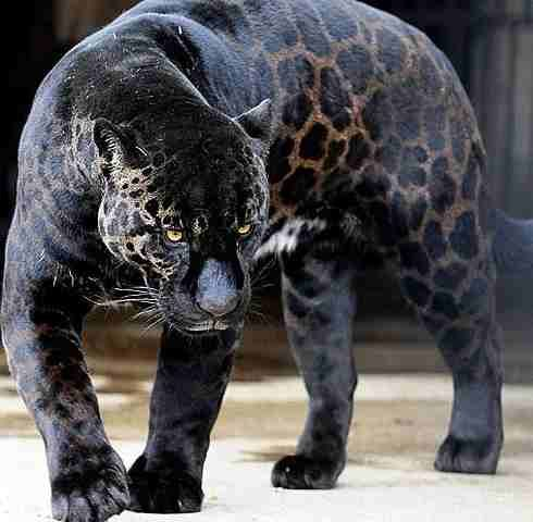 The black Panther is one of 3 species: a black Leopard, a black Jaguar, or a smaller cat called the Jaguarundi jag-ua-run-di. Description from pinterest.com. I searched for this on bing.com/images