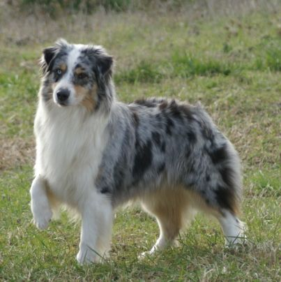 Australian Shepherd Dog Photo | Australian Shepherd1 Pictures Photos Pics