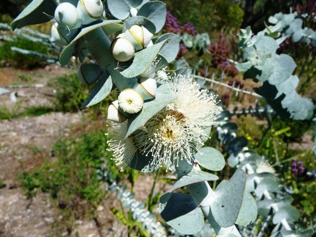Eucalyptus pulverulenta. 'Baby Blue' This plant after four years in the ground is 3 mtrs tall, and a similar width. The specimen flowered profusely three years after planting