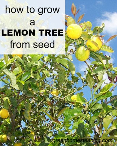 17 best images about gardening on pinterest gardens for Can i grow a lemon tree from lemon seeds