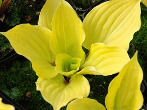 A shade perennial with gold leaves & red stems:  Hosta 'Fire Island' brightens the darkest spot.  michaelmuro.com